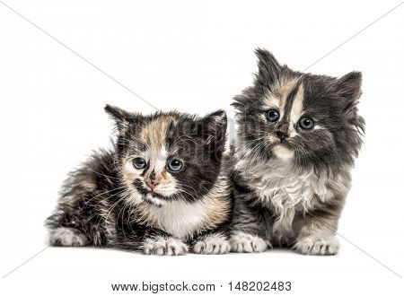 Two European Shorthair kittens, 1 month old, looking to the side, isolated on white