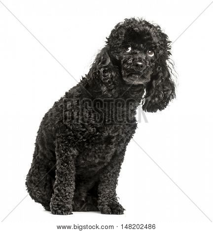 Poodle, 3.5 years old, sitting and looking up scared, isolated on white