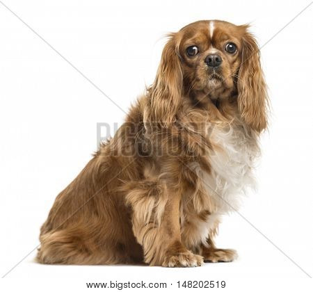 Cavalier King Charles Spaniel, 3 years old, sitting and looking at camera, isolated on white