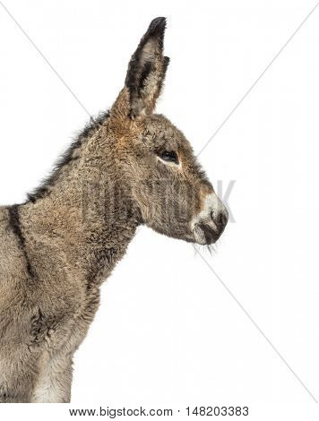 Close up of a young provence donkey isolated on white
