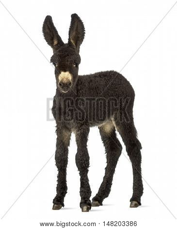 Young foal donkeys, baudet du poitoux facing isolated on white