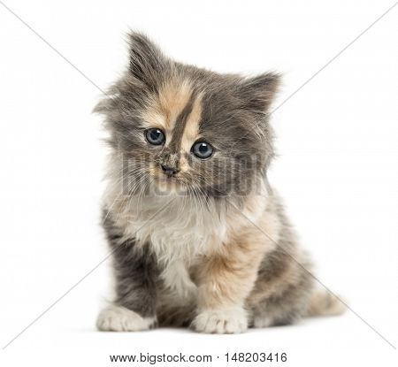 European Shorthair kitten 1 month old, sitting facing camera, isolated on white