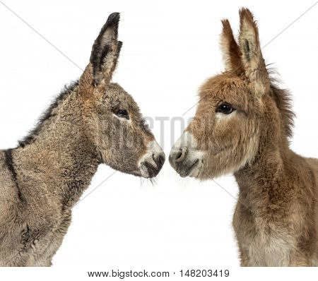 Close up of two young Provence donkey, foal looking at each other isolated on white