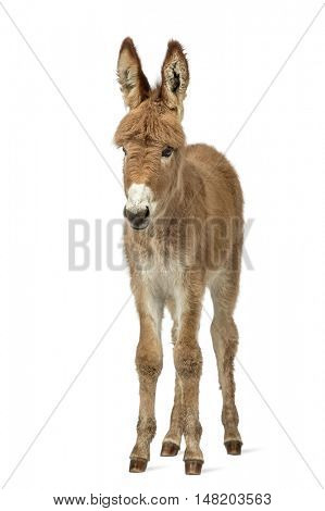 Young Provence donkey, foal isolated on white