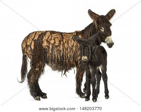 Mother donkey and her foal, baudet du poitoux isolated on white
