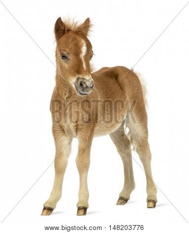Side view of a young poney, foal facing against white background