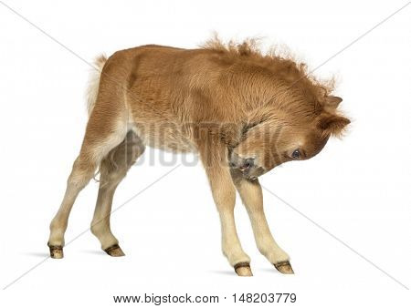 Side view of a Young Poney scratching, foal against white background