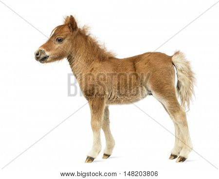 Side view of a young poney, foal against white background