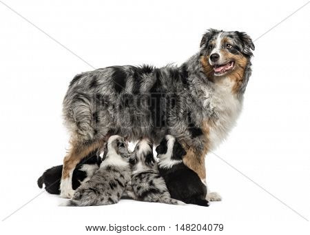 Mom Australian Shepherd and her crossbreed puppies feeding isolated on white