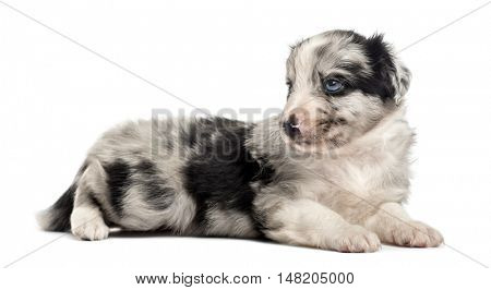 21 days hold crossbreed puppy lying down isolated on white