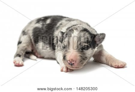3 days old crossbreed puppy isolated on white