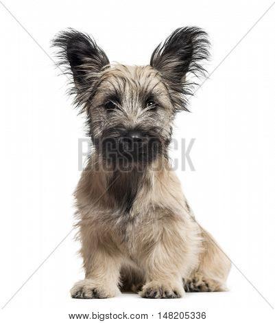 Skye Terrier dog sitting isolated on white