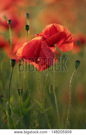 Red Poppy Flowers In Field At Sunrise