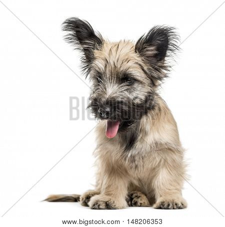 Skye Terrier sitting, panting and looking down isolated on white