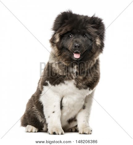 American Akita sitting, 7 months old, isolated on white