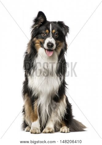 Australian Shepherd with one ear up sitting, 4 years old, isolated on white