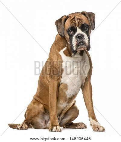 Boxer, 4 years old, sitting on white background