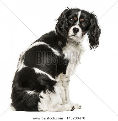 Cavalier King Charles Spaniel sitting to the side and looking at camera, 1 year old, isolated on white