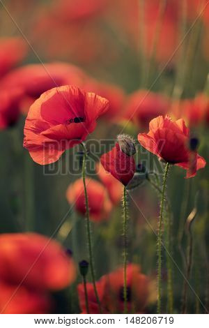 Red poppy flowers in field at the morning