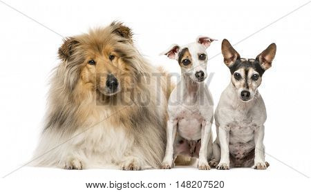 Group of three dogs; Scotch Collie, 3 years old, and two Jack Russell Terriers, 9 years old and 7 years old, isolated on white