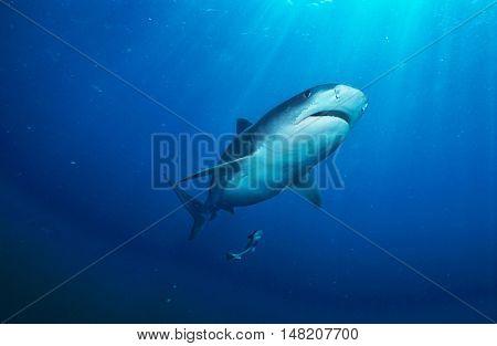 Tiger Shark (galelcerdo cuvieri), underwater view