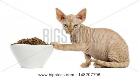 Side view of a Devon rex kitten eating from a white bowl isolated on white