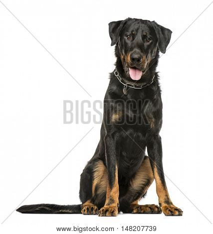 Beauceron panting and sitting, 16 months old, isolated on white