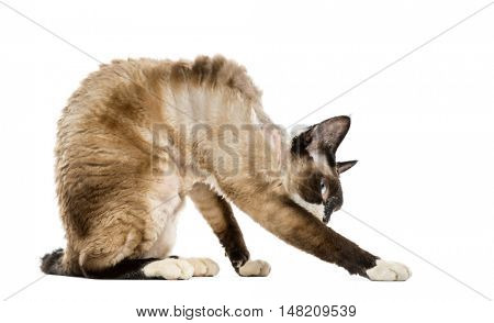 Devon rex leaning isolated on white