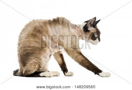 Devon rex sitting and playing isolated on white