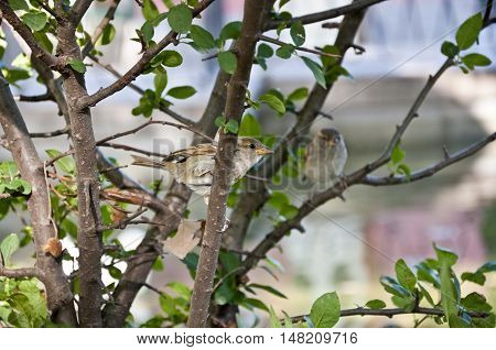 House Sparrow (Passer domesticus) perched on a branch. It is a bird of the sparrow family found in most parts of the world.