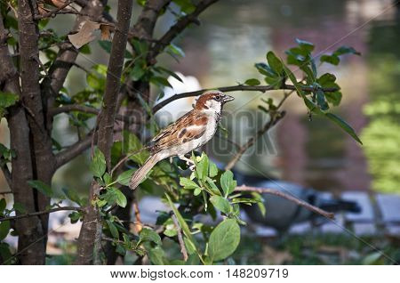 Male of House Sparrow (Passer domesticus) perched on a branch. It is a bird of the sparrow family found in most parts of the world.