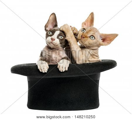2 Devon rex getting out of a hat and playing isolated on white