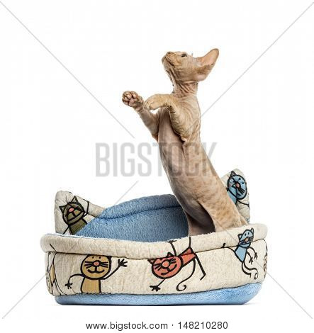 Devon rex looking up on hind legs in a pet basket isolated on white