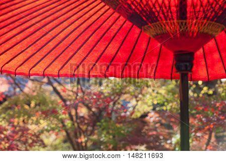 Japanese red umbellra at Japanese garden in autumn season