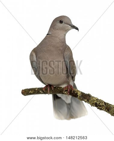 Front view of an African collared dove perched and isolated on white
