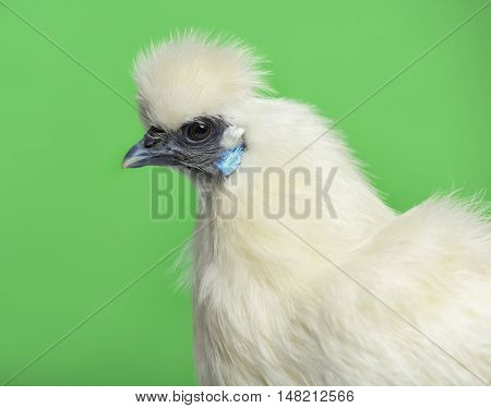 Close-up of a White Silkie hen against green background