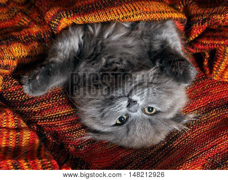 Funny gray cat lying in a red plaid knitted bright