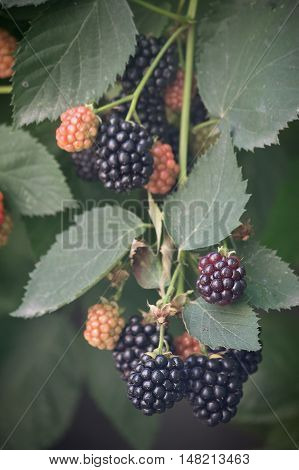 blackberry bush with ripe berries close up