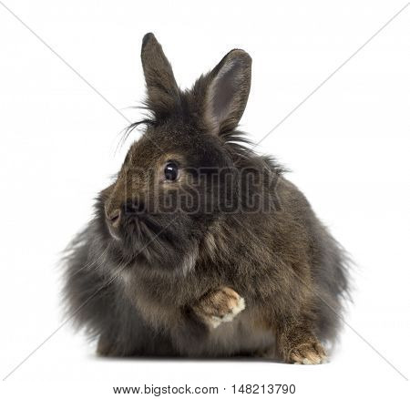 Mini Lop Rabbit isolated on white