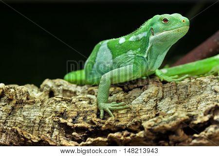 Fiji banded iguana (Brachylophus fasciatus). Wildlife animal.