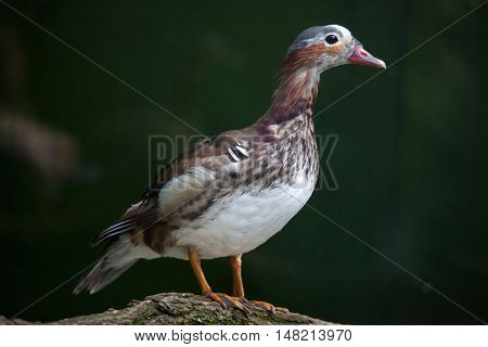Mandarin duck (Aix galericulata). Juvenile male duck. Wildlife animal.