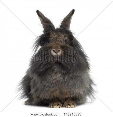 Front view of Mini Lop Rabbit isolated on white