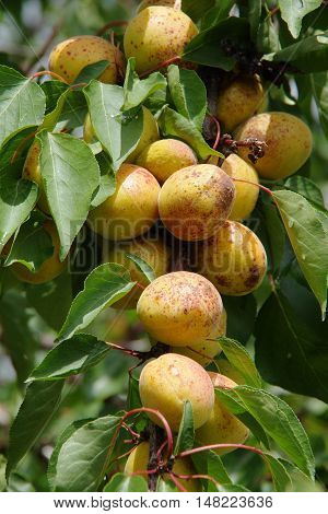 Abundant apricots ripen on a tree branch