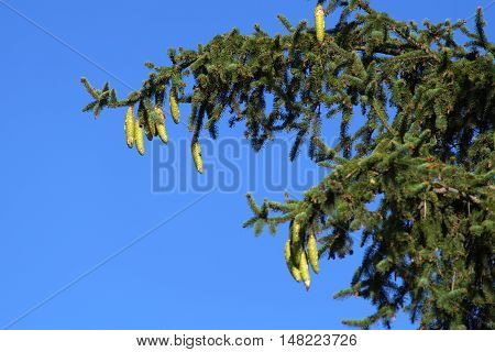 Spruce branch with cones against the blue sky