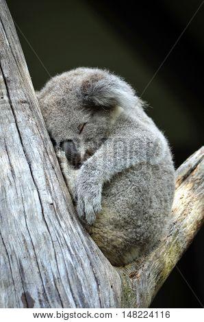 Cute Australian Koala (Phascolarctos cinereus) sleeping in a gum tree. Iconic marsupial mammal of Australia