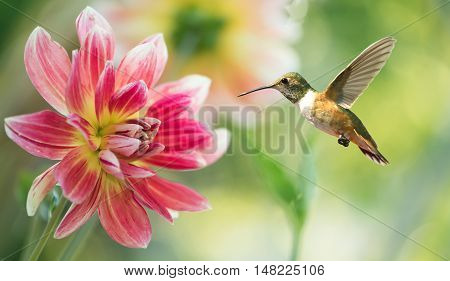 Hummingbird hovering on dahlia over bright summer background