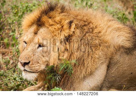 Lion in wildlife Tanzania. animal in wild.