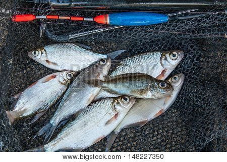 Eurasian Ruffe On Pile Of Several Roach And Bream Fish On Fishing Net. Fishing Rod With Float And Fi
