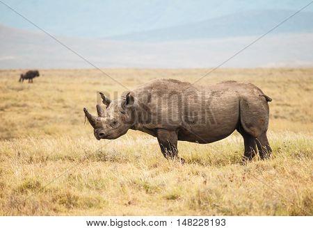 Black Rhinoceros is endanggered species. animal in wild.