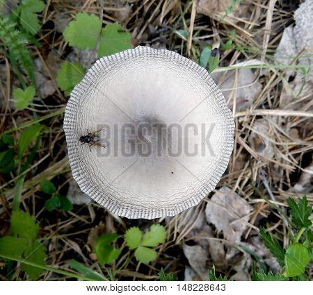 Forest Mushroom with fly top view close-up